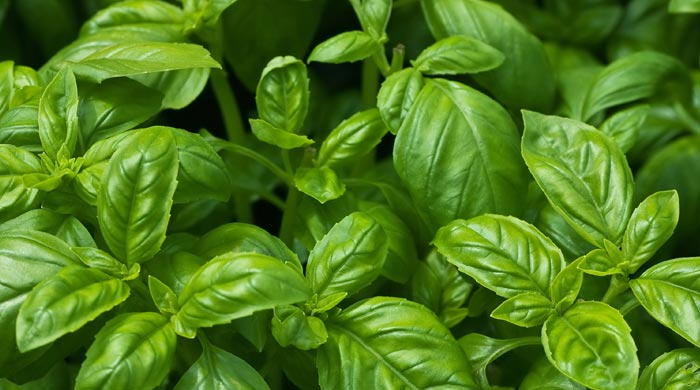 Basil Substitute – Your Best Bets